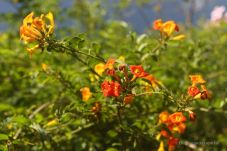 Flowers along the road at Ruta de las Flores, El Salvador
