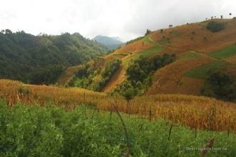 Pea and corn fields along the trail, Guatemala