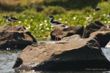 A black-necked stilt, the islets of Granada, Nicaragua