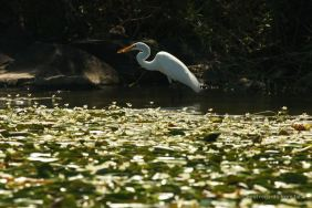 A white heron having breakfast, the isletas de Granada, Nicaragua