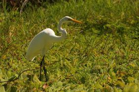 A white heron, the isletas de Granada, Nicaragua