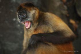 Aggressive capuchin monkey of Monkey island, the isletas de Granada, Nicaragua