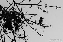A kingfisher, the isletas de Granada, Nicaragua