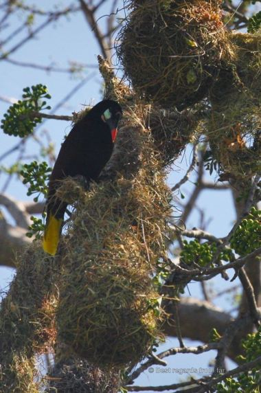 A Montezuma bird on its nest, the islets of Granada, Nicaragua