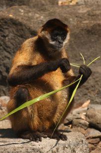 A capuchin monkey of Monkey island, the isletas de Granada, Nicaragua