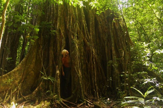 The strangler fig in the tropical forest ofPanama