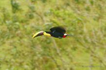 Flying toucan