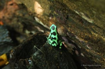A green poison dart frog