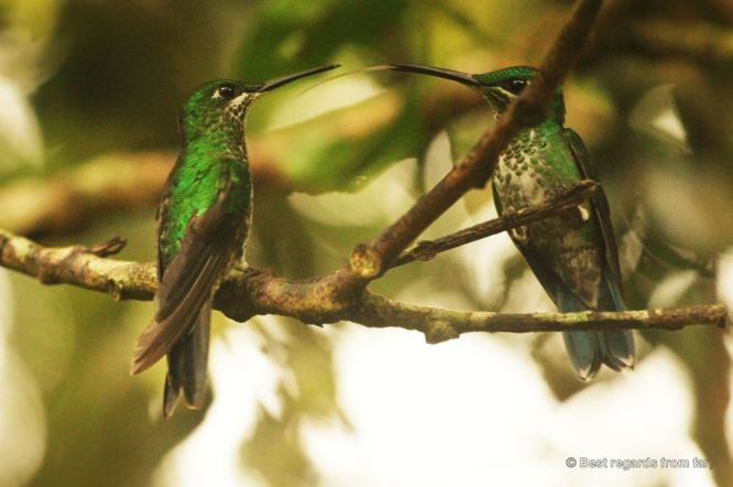 Hummingbirds near the Monte Verde cloud forest, Costa Rica