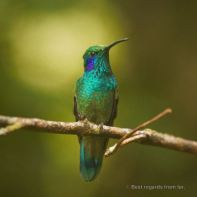 Hummingbird resting in the Santa Elena Cloud Forest, Costa Rica.