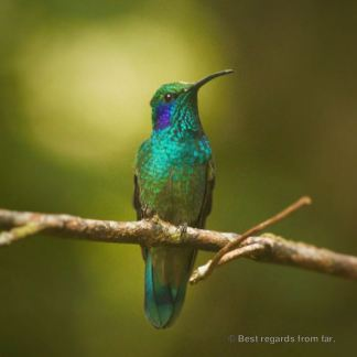 Hummingbird resting in the Santa Elena Cloud Forest, Costa Rica.