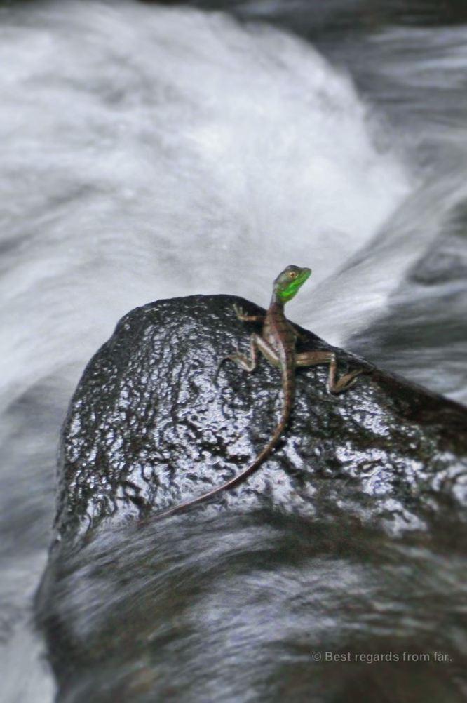 A young green basilisk lizard, Costa Rica