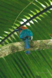 Motmot bird