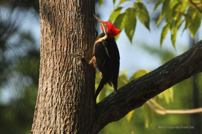 The lineated woodpecker, Panama