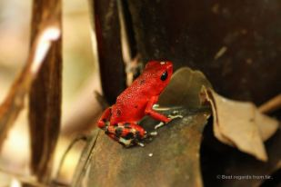 The cute but toxic red poison dart frog (Oophaga pumilio)