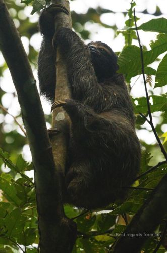 3-toed sloth on the move!