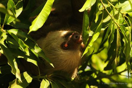 Hoffmann's two-toed sloth in Panama