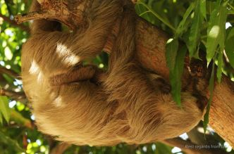 Hoffmann's two-toed sloth with baby, Panama