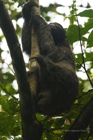 Sloth climbing down a tree, Costa Rica