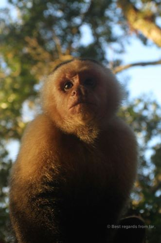 A white-faced capuchin monkey, posing!