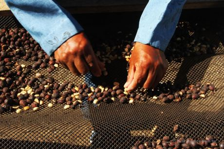 Every bean is selected by hand at Cafe Ruiz, Panama