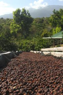 Coffee beans drying in the sun at Cafe Ruiz, Panama