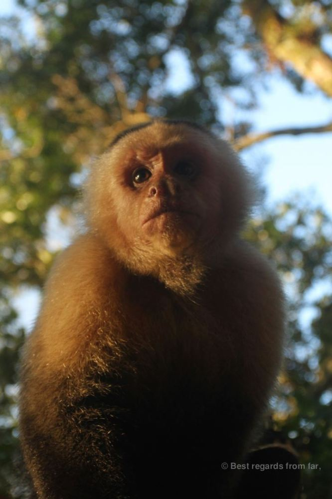 The white faced capuchin monkey at the Lost and Found Hostel, Panama
