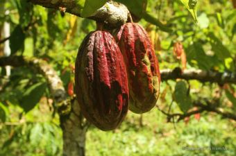 Cacao pods: 18 months from the shoot to the cacao flower, and then another 18 months to the cacao pod, containing the beans, Bocas del Toro, Panama