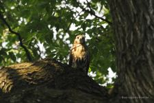 Young Red-tailed Hawk, Tompkins Square Park, New York City