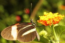 The postmen butterfly visits the same flowers in the same order every day!