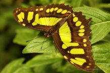 The malachite butterfly