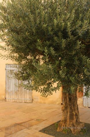 Typical square of Toulon, French Riviera: olive tree, soft colored walls, and painted shades.