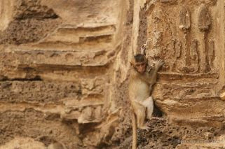 The monkeys of the Prang Sam Yot temple in Lopburi, Thailand