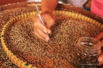 Sorting out pepper, Kampot, Cambodia