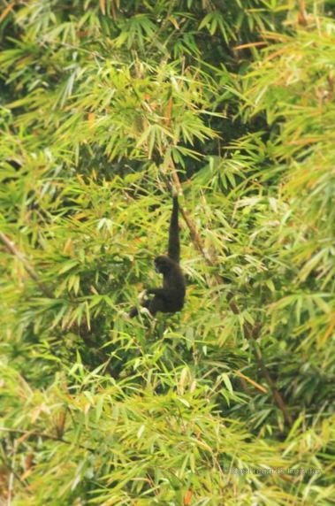 Gibbon, Cheow Larn lake, Khao Sok, Thailand