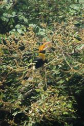 Great hornbill, Cheow Larn lake, Khao Sok, Thailand