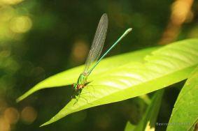 Dragonfly, Khao Sok, Thailand