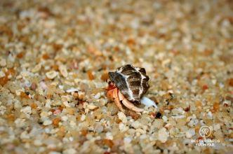 A hermit crab in the Surin Islands, Thailand