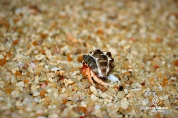 A hermit crab in the Surin Islands, Thailand