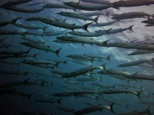 A school of barracudas, Surin & Similan Islands, Thailand