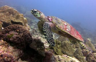 A turtle, Surin & Similan Islands, Thailand