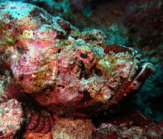 A scorpionfish, Surin & Similan Islands, Thailand