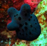 A nudibranch, Surin & Similan Islands, Thailand