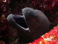 A moray eel, Surin & Similan Islands, Thailand