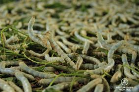 The yellow silkworms multiply their weight by 8000, Siem Reap, Cambodia