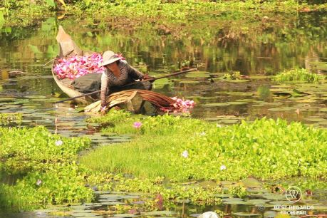 Woman picking lotus flowers in the moat of Angkor Thom, a timeless image, Angkor, Cambodia