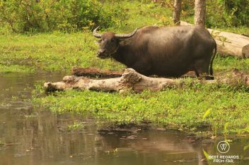 A water buffalo in the moat of Angkor Thom, Angkor, Cambodia
