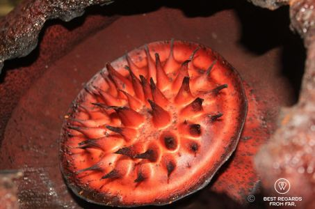 World's biggest flower: the rafflesia, Khao Sok National Park, Thailand
