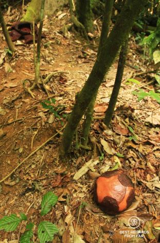 A bud of rafflesia in the foreground and the flower in the background, Khao Sok National Park, Thailand