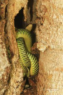 Baby snakes, Ko Yao Noi, Thailand
